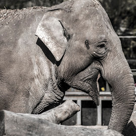 Artis Zoo Elephant by Dylan Barlow - Novices Only Wildlife ( artis zoo, monochrome, zoo, elephant, amsterdam, netherlands )