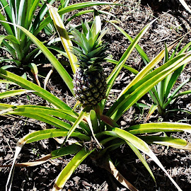 Pineapple by Sarah Harding - Novices Only Flowers & Plants ( plant, fruit, outdoors, novices only, garden )