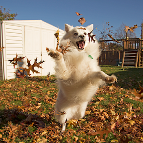 Fall Playtime by Melanie Melograne - Animals - Dogs Playing ( fall season, american eskimo, dogs playing, playing with leaves )