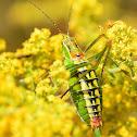 Ionian Bright Bush-cricket