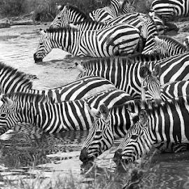 Zebras drinking water by Pravine Chester - Black & White Animals ( zebras, nature, monochrome, wildlfie, black and white, animals )