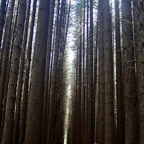 Sugar Pine Walk by Trevor Smart - Landscapes Forests ( sugar pines, pines, kosciusko national park, australia, nsw,  )