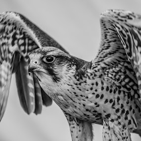 Taking flight by Ian Flear - Black & White Animals (  )