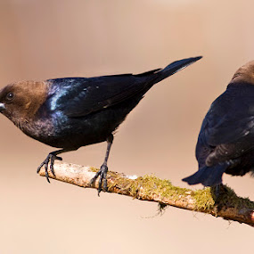 Brown-headed cowbird / vacher à tête brune by Rachel Bilodeau - Animals Birds ( brown-headed cowbird / vacher à tête brune )