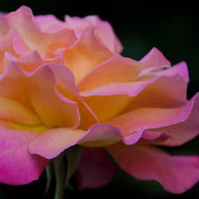 Blissful Rose by Kirsten Morse - Nature Up Close Flowers - 2011-2013