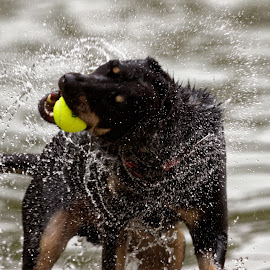 Water Time Fun by Raphael RaCcoon - Animals - Dogs Playing ( doggie, doggy, dog portrait, dog playing, dog )