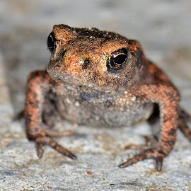 Toad has a peek by Stephen Crawford - Animals Amphibians ( toad, baby, garden, small, thousands, miniature,  )