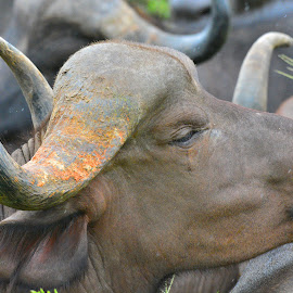 Buffalo by Diane Rogers Jones - Novices Only Wildlife