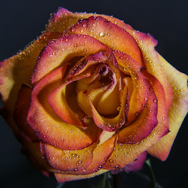 Rainbow Rose 1 by Dave Walters - Flowers Single Flower ( rose, macro zoom, colors, flowers, lumix fz2500 )