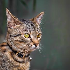 by Dado Barić - Animals - Cats Portraits