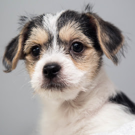 Hunk by Michele Williams - Animals - Dogs Puppies ( sweet, white, ears, puppy, cute, dog, black, tan, eyes )
