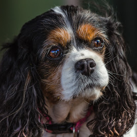 Bridget by Dave Lipchen - Animals - Dogs Portraits ( dog, bridget, king charles spaniel )