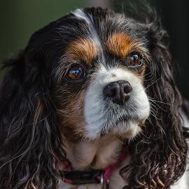 Bridget by Dave Lipchen - Animals - Dogs Portraits ( dog, bridget, king charles spaniel )