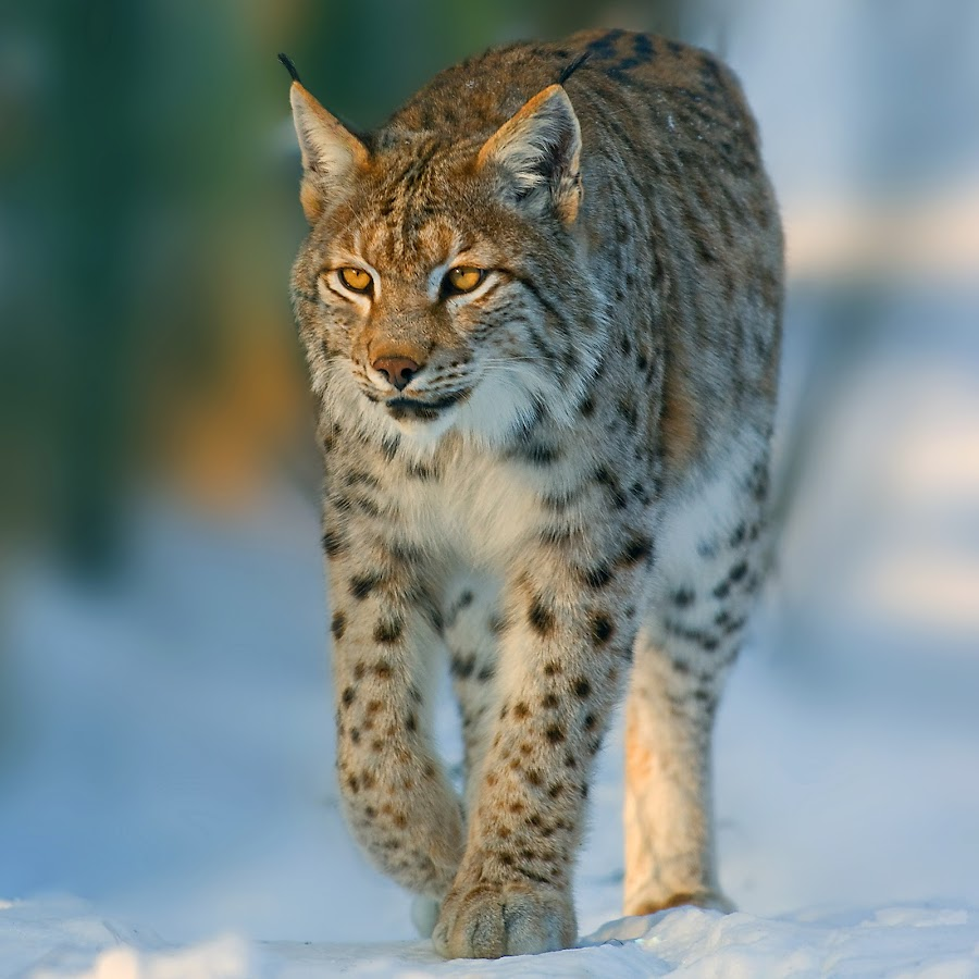 Lynx by Friedhelm Peters - Animals Other Mammals