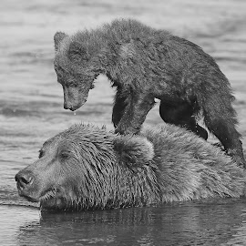 Going for a Ride! by Anthony Goldman - Black & White Animals ( grizzly, cub, mammal, nature, bear, brown, female, water, lake clark, wildlife )