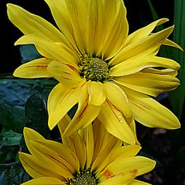 by Carmen Quesada - Flowers Flower Arangements ( arrangement, green, yellow, mums, flowers )