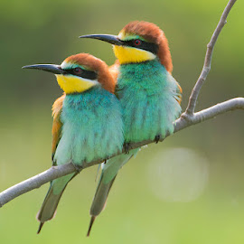 The two of us by Blaž Ocvirk - Animals Birds ( bee, apiaster, eater, merops )