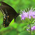 Eastern Tiger Swallowtail (Black Morph Female)