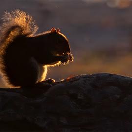 Squirrel at Sunrise  by Kimberly Sharp - Animals Other ( nature, natural light, rim lightning, morning, rock, beautiful, squirrel, morning light, golden hour, bokeh, backlighting, animal, wildlife )