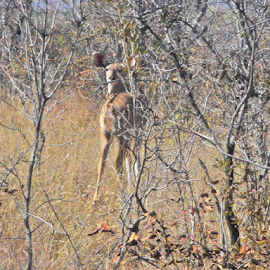 I see you! by Jo Soule - Animals Other ( izintaba, wildlife, game, deer )