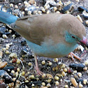 Cordon-bleu Finch
