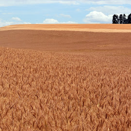 Ripe For Harvest by Kurt Bailey - Landscapes Prairies, Meadows & Fields