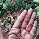 Barringtonia, Freshwater Mangrove, Indian Oak, Indian Putat