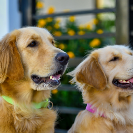 The Retrievers by Dave Lerio - Animals - Dogs Portraits