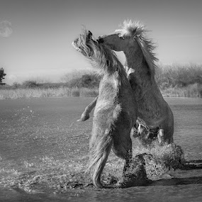 Fighting Ponies by Adrian Lines - Animals Horses
