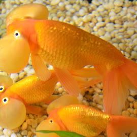 by Venkatesh Ravi - Animals Fish