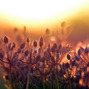 Hogweed at Dawn by Kevin Adams - Nature Up Close Other plants