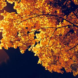 Golden Leaves by Jernej Lah - City,  Street & Park  Night ( tree, lušt, ljubljana, nočne, light, golden, sprehod )