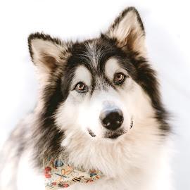Talkeetna at 4 Years Old by Stuart Partridge - Animals - Dogs Portraits ( malamute, nikon, stuart partridge, dog, d610 )