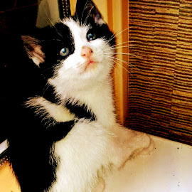 Sweet by Redski Pictures - Animals - Cats Kittens ( kitten, cat, black and white, little, sweety, animal )