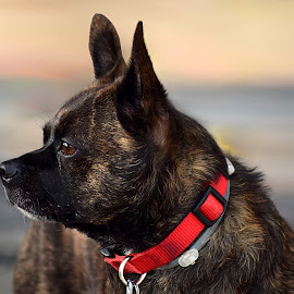 Kass by Shawn Thomas - Animals - Dogs Portraits