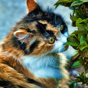 Here kitty kitty by Susan Foss - Animals - Cats Portraits ( calico, cat )