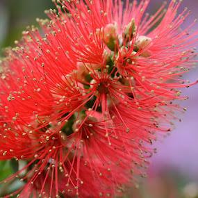 Macro flower by Marcia Gain - Flowers Single Flower