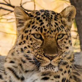 Spotted Leopard by Patricia Konyha - Animals Lions, Tigers & Big Cats ( 7d, february, zoo )