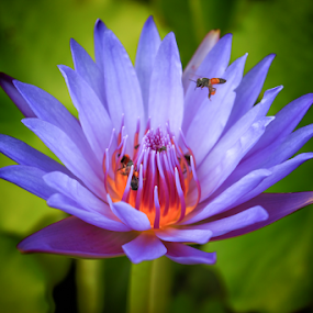 Lotus by Stephan Guenot - Flowers Flowers in the Wild
