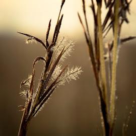Frosty Grass by Diana Sanderson - Nature Up Close Leaves & Grasses ( grassland, grass, frost, grass flowers, frosty )