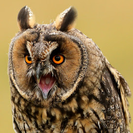 Long Eared Owl by Steve Diamond - Animals Birds ( bird, bird of prey, owl, long eared owl, raptor, bird photography )