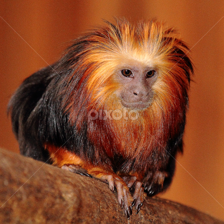 Tamarin lion by Gérard CHATENET - Animals Other Mammals (  )