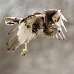 Redtail Hawk Release by Camruin Kilsek - Animals Birds