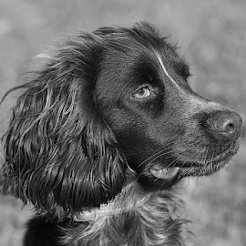 Young Revel by Chrissie Barrow - Black & White Animals ( monochrome, ear, black and white, cocker spaniel, pet, fur, dog, mono, nose, portrait, eye, animal )