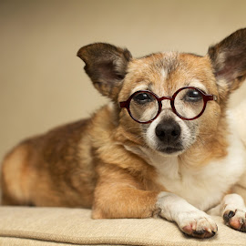 And your point is? by Meaghan Browning - Animals - Dogs Portraits ( studio, couch, glasses, chihuahua, smart )