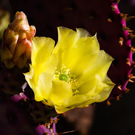 Prickly Pear Cactus by Dave Lipchen - Flowers Single Flower ( prickly pear cactus )