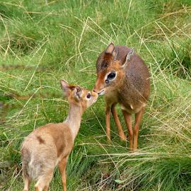 g=hello by Nico Kranenburg - Animals Other Mammals ( animals, zoo, grass, deer,  )