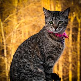Posing Cat by Myra Brizendine Wilson - Animals - Cats Portraits ( cats, cat, cat with pink collar, pet, pets, feline, animal )