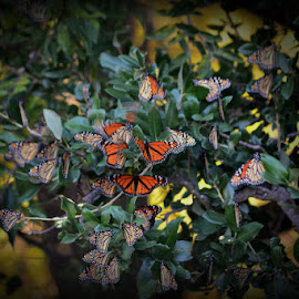 Flight of the Monarch Butterlies by Pam Alexander - Animals Insects & Spiders
