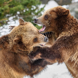 Brown Bears by John Sinclair - Animals Other ( bear, grizzly, nature, wildlife, grizzly bear )